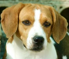Free Adorable Beagle Royalty Free Stock Images - 5758059