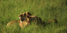 Free Lioness And Her Cubs In The Grass Royalty Free Stock Photography - 5758137