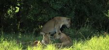 Free Lions Sheltering From The Midday Sun Royalty Free Stock Photos - 5758168