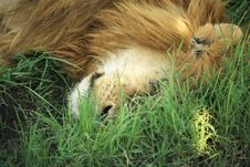 Free A Sleeping Lion Stock Image - 5758201
