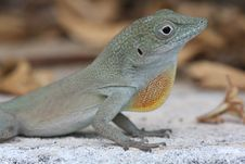 Free Lizard Stock Photo - 5758630