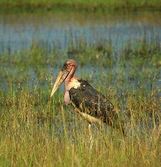 Free Single Marabou Stork Royalty Free Stock Photography - 5758717