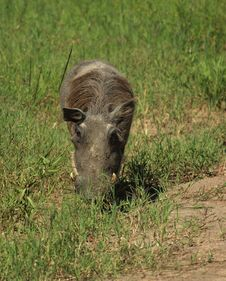 A Grazing Warthog Stock Photos