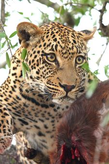 Free Leopard In A Tree Royalty Free Stock Image - 5759066