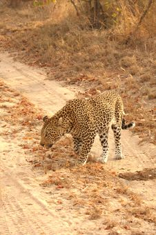 Free Leopard In The Sabi Sands Royalty Free Stock Image - 5759506
