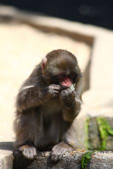 Free Japanese Snow Monkey Royalty Free Stock Images - 5759669