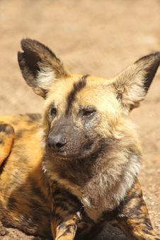 African Wild (painted) Dog Stock Photo