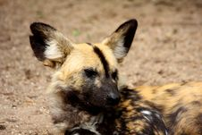 African Wild (painted) Dog Royalty Free Stock Photos