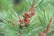 Free Male Pine Cone Pollen Bloom Among Needles Royalty Free Stock Photography - 57599717