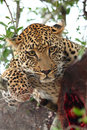 Free Leopard In A Tree With Kill Royalty Free Stock Photo - 5762145