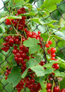 Free Red Berries Royalty Free Stock Photo - 5764195