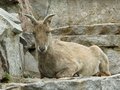 Free Goat. Stock Image - 5764681