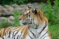Free Tiger. Stock Image - 5764721