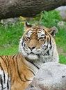 Free Tiger. Royalty Free Stock Image - 5764726