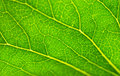 Free Green Leaf Texture Royalty Free Stock Images - 5765289