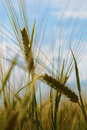 Free Ears Of Wheat Against Sky Stock Photography - 5767392