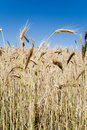 Free Wheat Ears Against Blue Sky Royalty Free Stock Photo - 5767575