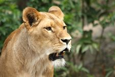 Free Lioness In Sabi Sands Royalty Free Stock Images - 5760189