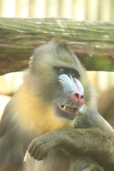 Free Male Mandrill Baboon Royalty Free Stock Images - 5760399