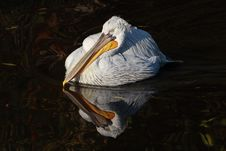 Free Pelican Reflection Royalty Free Stock Photo - 5760685