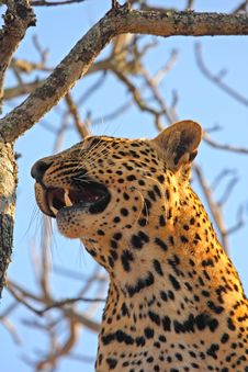 Free Leopard In A Tree Royalty Free Stock Photos - 5760808