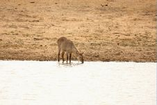 Free Female Waterbuck Royalty Free Stock Image - 5760926