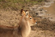 Free Female Waterbuck Royalty Free Stock Photo - 5760945