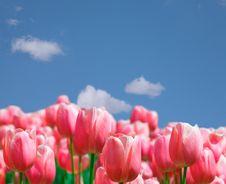 Free Tulips Stock Image - 5760951