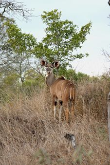 Free Male Kudu Royalty Free Stock Photos - 5761068