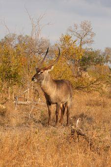 Free Male Waterbuck Stock Photo - 5761110