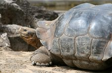 Free Giant Galapagos Tortoise Stock Images - 5761174