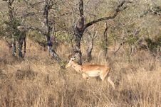 Free Male Impala Royalty Free Stock Photos - 5761278
