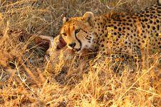 Free Cheetah On A Kill Royalty Free Stock Photo - 5761315