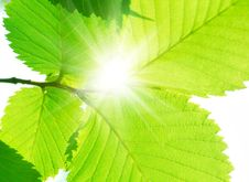 Free Green Summer Leafs Royalty Free Stock Photo - 5761365