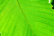 Free Green Summer Leaf Stock Photo - 5761370