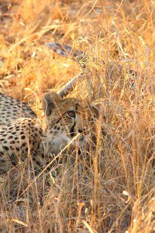 Free Cheetah Royalty Free Stock Images - 5761429