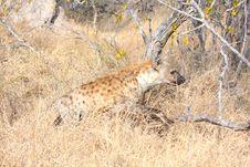 Free Hyena In Sabi Sands Stock Image - 5761501