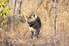 Free Hyena In Sabi Sands Royalty Free Stock Image - 5761586