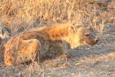 Free Hyena In Sabi Sands Royalty Free Stock Photography - 5761597