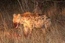 Free Hyena On A Kill In Sabi Sands Royalty Free Stock Photo - 5761605