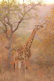 Free Giraffe In Sabi Sands Royalty Free Stock Photos - 5761708