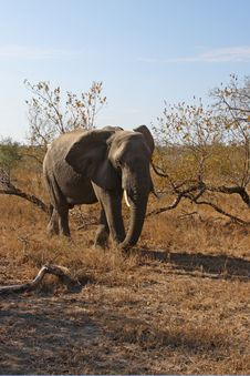 Free Elephant In Sabi Sands Royalty Free Stock Photo - 5761905