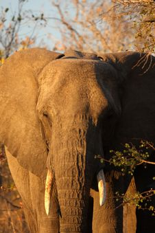 Free Elephant In Sabi Sands Royalty Free Stock Photo - 5761915