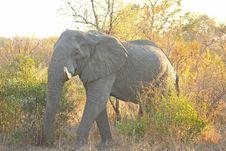Free Elephant In Sabi Sands Stock Image - 5762021