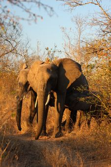 Free Elephant In Sabi Sands Stock Images - 5762024