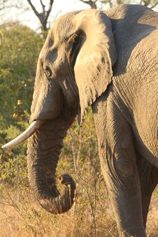 Free Elephant In Sabi Sands Stock Photography - 5762092