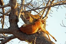 Free Leopard In A Tree With Kill Stock Image - 5762211