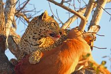 Free Leopard In A Tree With Kill Stock Image - 5762251