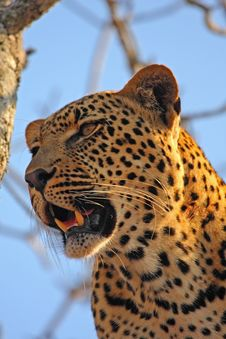 Free Leopard In A Tree Royalty Free Stock Photography - 5762297