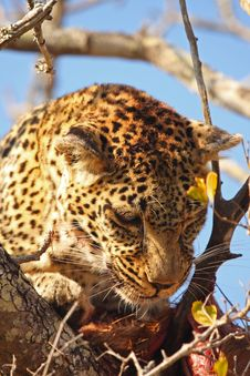 Free Leopard In A Tree With Kill Stock Photography - 5762352